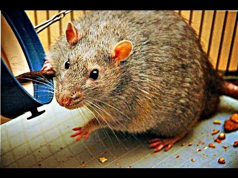 วิธีการกำจัดหนูในนาข้าว โรงสีข้าว ฟาร์มปศุสัตว์ โรงงานผลิตอาหารสัตว์