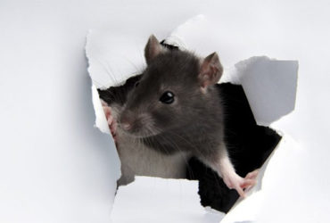 vp_us_rat-paper_wall_iStock_8343646_MEDIUM-700x432